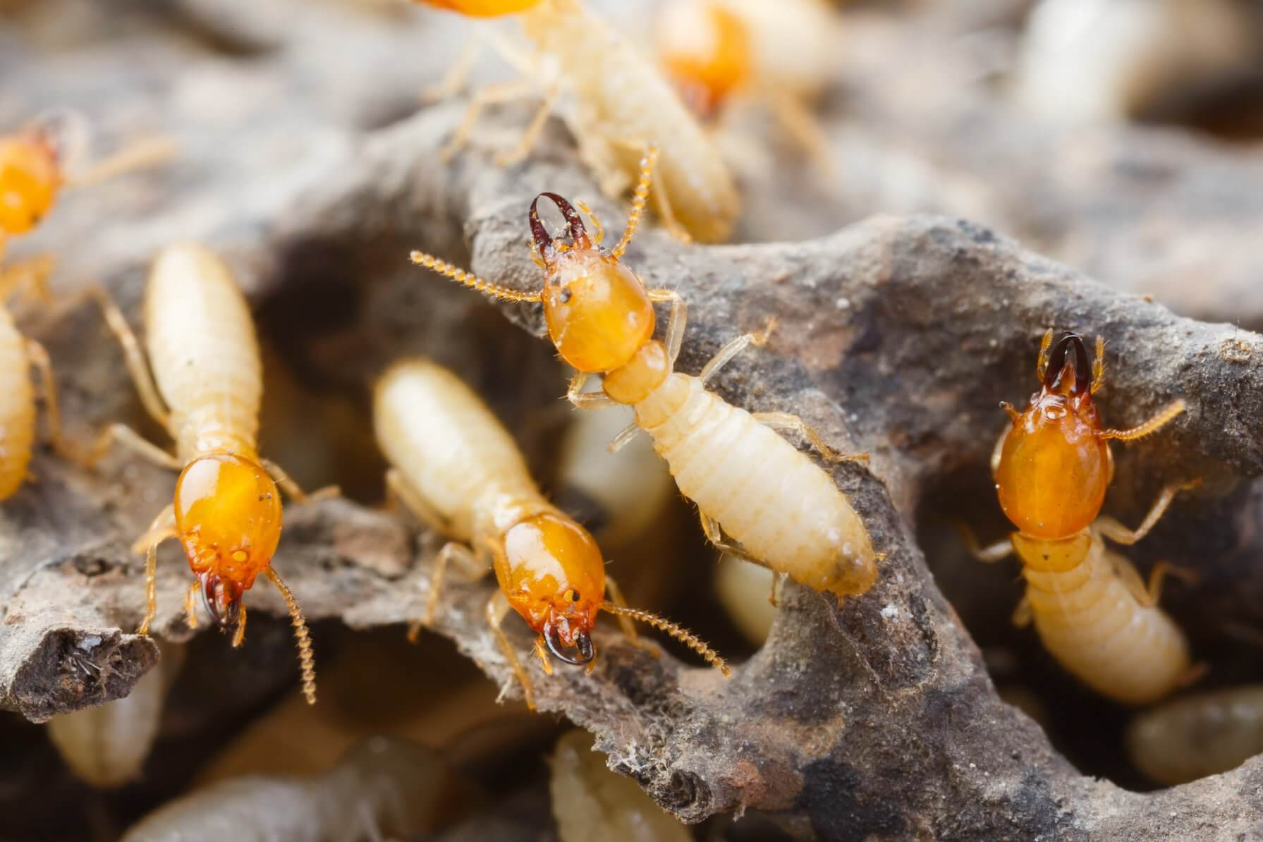 the hidden damage termites can do total inspections gold coast image