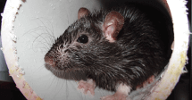 Mouse-image-for-Total-Inspections-pest-inspections-blog-post.